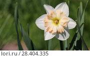 Купить «White narcissus (Narcissus poeticus)», видеоролик № 28404335, снято 12 мая 2018 г. (c) Ольга Сейфутдинова / Фотобанк Лори