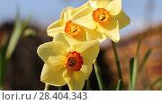 Купить «Желтые нарциссы Yellow daffodils (Narcissus poeticus)», видеоролик № 28404343, снято 12 мая 2018 г. (c) Ольга Сейфутдинова / Фотобанк Лори