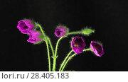 Купить «Bloom purple flowers», видеоролик № 28405183, снято 8 мая 2018 г. (c) Илья Шаматура / Фотобанк Лори