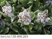 Купить «Бессмертник своенравный (Helichrysum devium)», фото № 28406263, снято 22 февраля 2018 г. (c) Ирина Яровая / Фотобанк Лори
