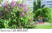 bush of pink lilacs in the city. Стоковое видео, видеограф Володина Ольга / Фотобанк Лори
