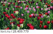 Купить «Tulips of different colors and gardens in flowerbed», видеоролик № 28409779, снято 14 мая 2018 г. (c) Володина Ольга / Фотобанк Лори
