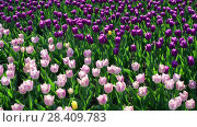 Купить «There are many lilac and pink tulips in flowerbed», видеоролик № 28409783, снято 14 мая 2018 г. (c) Володина Ольга / Фотобанк Лори
