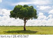 Купить «acacia tree in african savanna», фото № 28410567, снято 21 февраля 2017 г. (c) Syda Productions / Фотобанк Лори