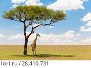 Купить «giraffe under a tree in african savanna», фото № 28410731, снято 20 февраля 2017 г. (c) Syda Productions / Фотобанк Лори