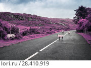 Купить «surreal purple sheep grazing on road in ireland», фото № 28410919, снято 23 июня 2016 г. (c) Syda Productions / Фотобанк Лори