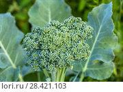 Купить «Брокколи в огороде (Broccoli in vegetable bed)», фото № 28421103, снято 13 августа 2017 г. (c) Ольга Сейфутдинова / Фотобанк Лори
