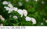 Купить «Sprig bush with white flowers in spring», видеоролик № 28438379, снято 18 мая 2018 г. (c) Володина Ольга / Фотобанк Лори