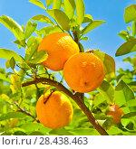 Спелые апельсины на ветке дерева. Стоковое фото, фотограф E. O. / Фотобанк Лори