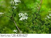 Купить «Цветущая Спирея серая Grefsheim (Spiraea cinerea Zabel)», фото № 28439627, снято 8 мая 2018 г. (c) Татьяна Белова / Фотобанк Лори