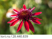 Купить «Эхинацея Эксцентрик (Echinacea Eccentric)», фото № 28440839, снято 13 августа 2017 г. (c) Ольга Сейфутдинова / Фотобанк Лори