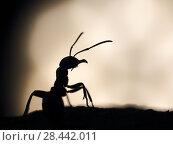Купить «The silhouette of an ant. Large ant at sunset. Macro», фото № 28442011, снято 15 ноября 2019 г. (c) Ирина Козорог / Фотобанк Лори
