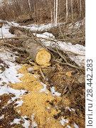 Купить «Весна в Сибири, распиленное бревно ели в лесу », эксклюзивное фото № 28442283, снято 23 апреля 2018 г. (c) Александр Циликин / Фотобанк Лори