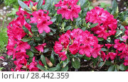Купить «rhododendron (Rhododendron 'Small Wonder', Rhododendron Small Wonder), cultivar Small Wonder. Close-up of red rhododendron blossoms in the garden in spring. Catawba Rhododendron Cultivar (Rhododendron catawbiense)», видеоролик № 28442359, снято 19 мая 2018 г. (c) Ольга Сейфутдинова / Фотобанк Лори