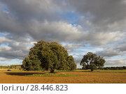 One-hundred year holm oaks (Quercus ilex). Los Pozuelos. Almansa. Albacete province. Spain. Стоковое фото, фотограф Antonio Real / age Fotostock / Фотобанк Лори