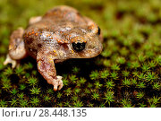 Купить «Iberian midwife toad (Alytes cisternasii) in Valdemanco pond, Madrid province, Spain.», фото № 28448135, снято 5 ноября 2017 г. (c) age Fotostock / Фотобанк Лори