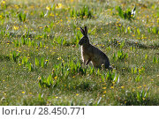 Купить «Woolly hare (Lepus oiostolus) Sanjiangyuan National Nature Reserve, Qinghai Hoh Xil UNESCO World Heritage Site, Qinghai-Tibet Plateau, Qinghai Province, China.», фото № 28450771, снято 24 мая 2018 г. (c) Nature Picture Library / Фотобанк Лори