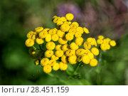Купить «Цветы пижмы (Tanacetum vulgare)», фото № 28451159, снято 27 июля 2016 г. (c) Евгений Ткачёв / Фотобанк Лори