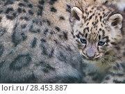 Купить «Snow leopard (Panthera uncia) cub age three months next to mother, captive.», фото № 28453887, снято 22 июля 2018 г. (c) Nature Picture Library / Фотобанк Лори