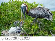 Купить «Brown pelican (Pelecanus occidentalis) feeding chicks at nest, Puerto Ayora / Academy Bay, Santa Cruz Island, Galapagos», фото № 28453923, снято 21 июня 2018 г. (c) Nature Picture Library / Фотобанк Лори