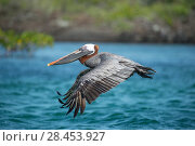 Купить «Brown pelican (Pelecanus occidentalis) in flight, Turtle Cove, Santa Cruz Island, Galapagos», фото № 28453927, снято 16 августа 2018 г. (c) Nature Picture Library / Фотобанк Лори