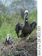 Купить «Brown pelican (Pelecanus occidentalis) pair at nest, Urvina Bay, Isabela Island, Galapagos», фото № 28453931, снято 21 июня 2018 г. (c) Nature Picture Library / Фотобанк Лори