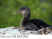 Купить «Flightless cormorant (Phalacrocorax harrisi) at nest, Urvina Bay, Isabela Island, Galapagos», фото № 28453943, снято 16 августа 2018 г. (c) Nature Picture Library / Фотобанк Лори