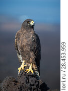 Купить «Galapagos hawk (Buteo galapagoensis) Cape Hammond, Fernandina Island, Galapagos», фото № 28453959, снято 16 августа 2018 г. (c) Nature Picture Library / Фотобанк Лори