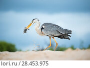 Купить «Great blue heron (Ardea herodias) with Green turtle (Chelonia mydas) prey on beach, Las Bachas, Santa Cruz Island, Galapagos», фото № 28453975, снято 17 июля 2018 г. (c) Nature Picture Library / Фотобанк Лори