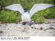 Купить «Swallow-tailed gull (Creagrus furcatus) pair mating, Genovesa Island, Galapagos», фото № 28454007, снято 23 июля 2019 г. (c) Nature Picture Library / Фотобанк Лори