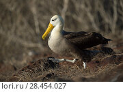 Купить «Waved albatross (Phoebastria irrorata) walking through nest site, Punta Suarez, Espanola Island, Galapagos», фото № 28454027, снято 16 августа 2018 г. (c) Nature Picture Library / Фотобанк Лори