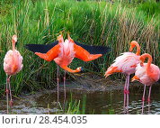 Купить «American flamingo (Phoenicopterus ruber) group of four with one displaying Punta Moreno, Isabela Island, Galapagos», фото № 28454035, снято 16 августа 2018 г. (c) Nature Picture Library / Фотобанк Лори