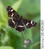 Купить «Map butterfly (Araschnia levana), male, Finland, August.», фото № 28454067, снято 18 июля 2018 г. (c) Nature Picture Library / Фотобанк Лори