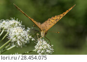 Купить «Silver-washed fritillary butterfly (Argynnis paphia), female feeding from flower, Finland, August.», фото № 28454075, снято 18 июля 2018 г. (c) Nature Picture Library / Фотобанк Лори