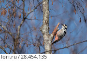 Купить «White-backed woodpecker (Dendrocopos leucotos), female, Finland, April.», фото № 28454135, снято 19 августа 2018 г. (c) Nature Picture Library / Фотобанк Лори