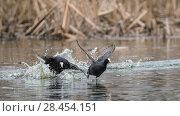 Купить «Coot (Fulica atra), fighting males, Finland, April.», фото № 28454151, снято 23 июля 2018 г. (c) Nature Picture Library / Фотобанк Лори