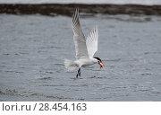 Купить «Caspian tern (Hydroprogne caspia) with fish prey, Finland, April.», фото № 28454163, снято 15 августа 2018 г. (c) Nature Picture Library / Фотобанк Лори