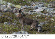 Купить «Mountain hare (Lepus timidus), adult in summer, Finland, July.», фото № 28454171, снято 25 мая 2018 г. (c) Nature Picture Library / Фотобанк Лори