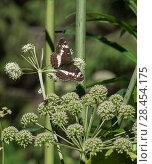 Купить «White Admiral (Limenitis camilla), female,  Finland, August.», фото № 28454175, снято 18 июля 2018 г. (c) Nature Picture Library / Фотобанк Лори