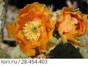 Купить «Prickly Pear Cactus (Opuntia sp) in flower, Saguaro National Park, Arizona, USA. April.», фото № 28454403, снято 17 августа 2018 г. (c) Nature Picture Library / Фотобанк Лори