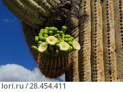 Купить «Saguaro cactus (Carnegiea gigantea) buds and flowers in bloom, Organ Pipe Cactus National Monument, Sonora Desert, Arizona, USA, April 2014.», фото № 28454411, снято 17 августа 2018 г. (c) Nature Picture Library / Фотобанк Лори
