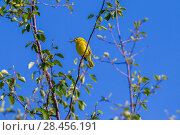 Yellow warbler (Dendroica petechia) hunting insects, Madison River, Bozeman, Montana, USA. June. Стоковое фото, фотограф Phil Savoie / Nature Picture Library / Фотобанк Лори