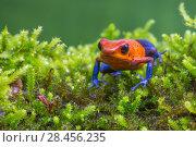 Купить «Strawberry poison dart frog  (Oophaga pumilio - aka Dendrobates pumilio) La Selva Field Station, Costa Rica.», фото № 28456235, снято 21 августа 2018 г. (c) Nature Picture Library / Фотобанк Лори