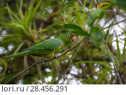 Купить «Crimson fronted parrot (Aratinga finschi) La Selva Field Station, Costa Rica.», фото № 28456291, снято 18 июня 2019 г. (c) Nature Picture Library / Фотобанк Лори