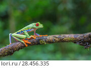 Купить «Red eyed tree frog (Agalychnis callidryas) La Selva Field Station, Costa Rica.», фото № 28456335, снято 28 мая 2018 г. (c) Nature Picture Library / Фотобанк Лори