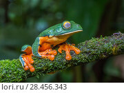 Купить «Splendid leaf frog (Cruziohyla calcarifer) La Selva Field Station, Costa Rica.», фото № 28456343, снято 28 мая 2018 г. (c) Nature Picture Library / Фотобанк Лори
