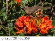 Купить «Clay-colored robin (Turdus grayi), drinking from flower ofAfrican tulip tree (Spathodea campanulata) Costa Rica. This tree is an invasive species.», фото № 28456359, снято 24 мая 2018 г. (c) Nature Picture Library / Фотобанк Лори