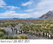 King Penguin (Aptenodytes patagonicus) on the island of south Georgia, the rookery in Gold Harbour. In the background the cruise ship MS Sea Spirit. Antarctica, Subantarctica, South Georgia. Стоковое фото, фотограф Martin Zwick / age Fotostock / Фотобанк Лори