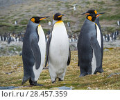 King Penguin (Aptenodytes patagonicus) on the island of South Georgia, the rookery in St. Andrews Bay. Antarctica, Subantarctica, South Georgia. Стоковое фото, фотограф Martin Zwick / age Fotostock / Фотобанк Лори