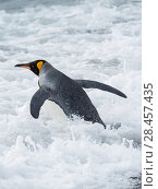 King Penguin (Aptenodytes patagonicus) on the island of South Georgia, the rookery on Salisbury Plain in the Bay of Isles. Adults entering the sea. Antarctica, Subantarctica, South Georgia. Стоковое фото, фотограф Martin Zwick / age Fotostock / Фотобанк Лори